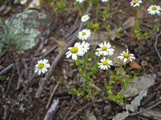 APII jpeg image of Brachyscome gracilis  © contact APII