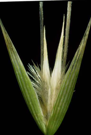 APII jpeg image of Avena sterilis  © contact APII