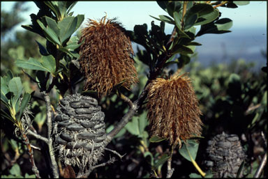 APII jpeg image of Banksia oreophila  © contact APII