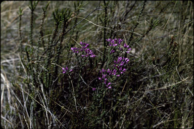 APII jpeg image of Comesperma retusum  © contact APII