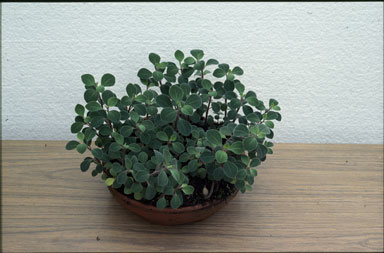APII jpeg image of Peperomia enervis  © contact APII