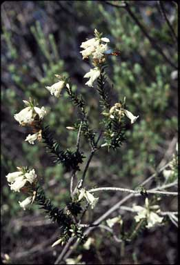 APII jpeg image of Epacris obtusifolia  © contact APII