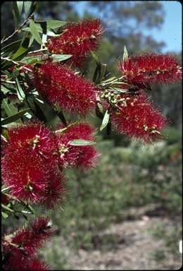 APII jpeg image of Callistemon 'Prolific Pink'  © contact APII
