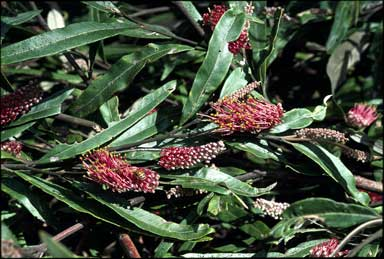 APII jpeg image of Grevillea 'Coastal Glow'  © contact APII