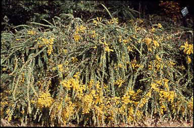 APII jpeg image of Acacia pravissima 'Golden Carpet'  © contact APII