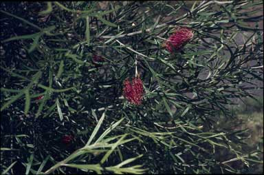 APII jpeg image of Grevillea 'Toowoomba Beauty'  © contact APII