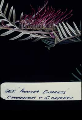 APII jpeg image of Grevillea 'Poorinda Empress'  © contact APII