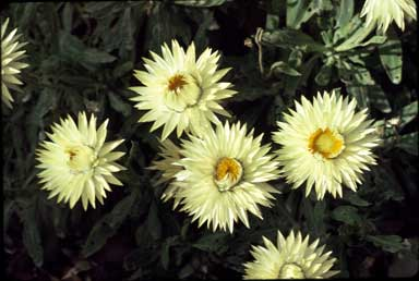 APII jpeg image of Xerochrysum bracteatum 'Cockatoo'  © contact APII