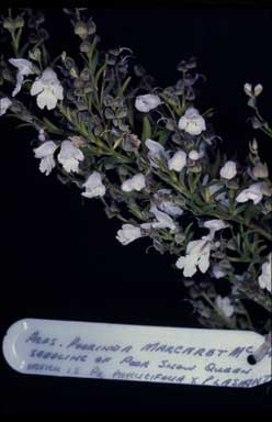 APII jpeg image of Prostanthera 'Poorinda Margaret McRae'  © contact APII