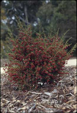 APII jpeg image of Boronia megastigma 'Jack Maguires Red'  © contact APII