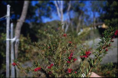 APII jpeg image of Grevillea 'Raspberry Red'  © contact APII