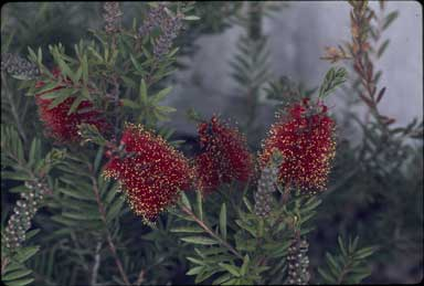 APII jpeg image of Callistemon 'Tinaroo'  © contact APII