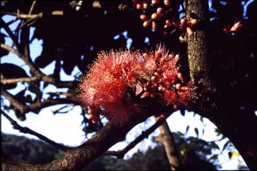 APII jpeg image of Syzygium moorei  © contact APII