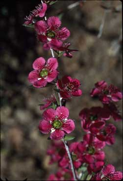 APII jpeg image of Leptospermum 'Bywong Merinda'  © contact APII