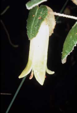 APII jpeg image of Correa reflexa 'Icicle'  © contact APII