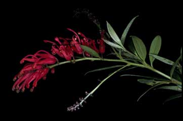 APII jpeg image of Grevillea 'Lady O'  © contact APII