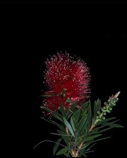 APII jpeg image of Callistemon 'Unical 1'  © contact APII