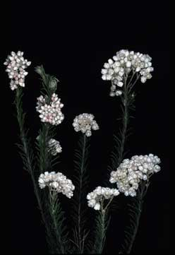 APII jpeg image of Ozothamnus 'Adelaide White'  © contact APII