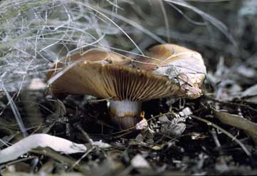 APII jpeg image of Cortinarius lavendulensis  © contact APII