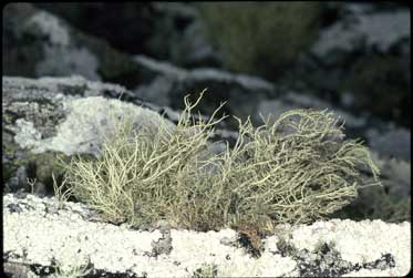 APII jpeg image of Usnea inermis  © contact APII