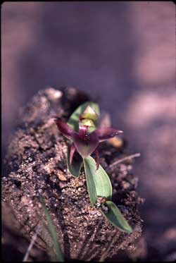 APII jpeg image of Chiloglottis valida  © contact APII