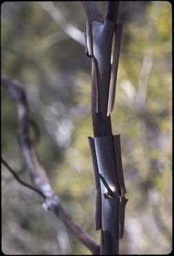 APII jpeg image of Leptospermum purpurascens  © contact APII