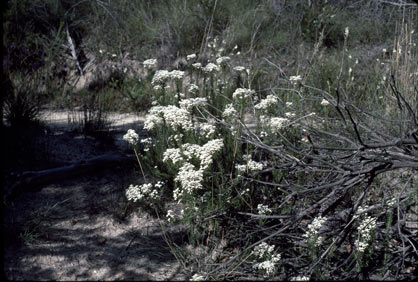 APII jpeg image of Conospermum taxifolium  © contact APII