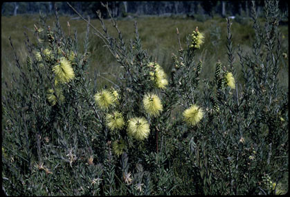 APII jpeg image of Callistemon viridiflorus  © contact APII