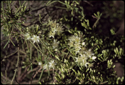APII jpeg image of Calytrix arborescens  © contact APII