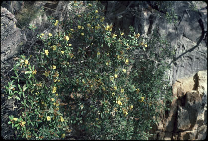 APII jpeg image of Hibbertia banksii  © contact APII