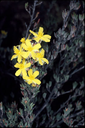 APII jpeg image of Hibbertia enervia  © contact APII