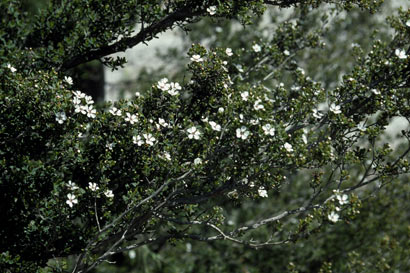 APII jpeg image of Leptospermum nitens  © contact APII