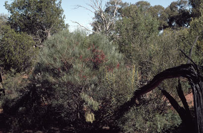 APII jpeg image of Grevillea haplantha  © contact APII