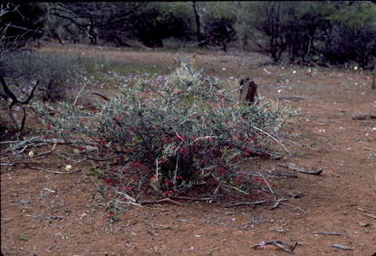 APII jpeg image of Grevillea deflexa  © contact APII