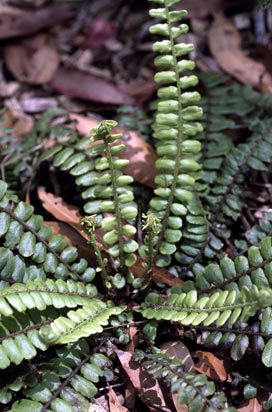 APII jpeg image of Blechnum fluviatile  © contact APII