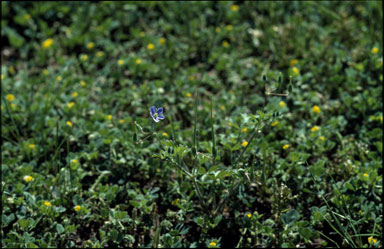 APII jpeg image of Erodium crinitum  © contact APII