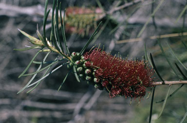 APII jpeg image of Callistemon linearis  © contact APII