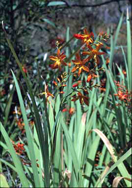 APII jpeg image of Crocosmia crocosmiiflora  © contact APII