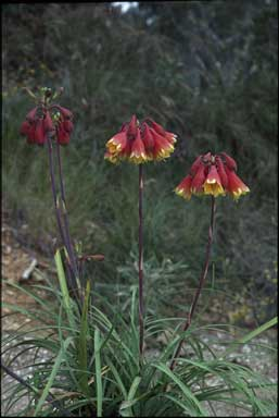 APII jpeg image of Blandfordia cunninghamii  © contact APII