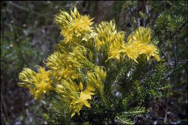 APII jpeg image of Calytrix flavescens  © contact APII