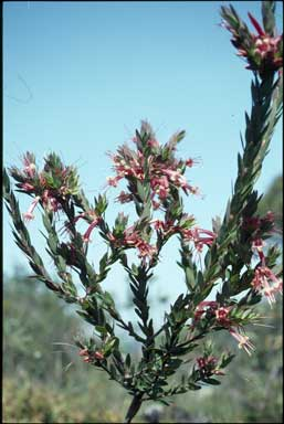 APII jpeg image of Styphelia triflora  © contact APII