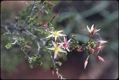 APII jpeg image of Calytrix longiflora  © contact APII