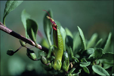 APII jpeg image of Eremophila serpens  © contact APII