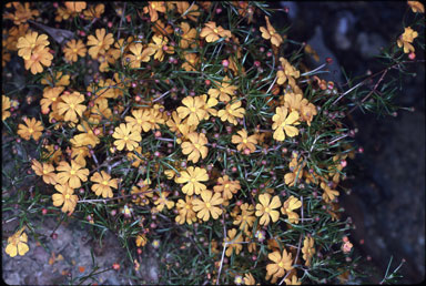 APII jpeg image of Hibbertia stellaris  © contact APII