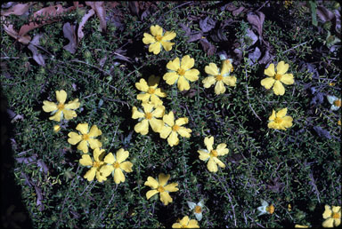 APII jpeg image of Hibbertia vestita  © contact APII