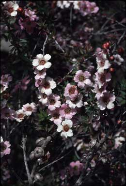 APII jpeg image of Leptospermum squarrosum  © contact APII