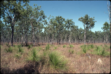APII jpeg image of Melaleuca viridiflora,<br/>Xanthorrhoea johnsonii  &#169; contact APII