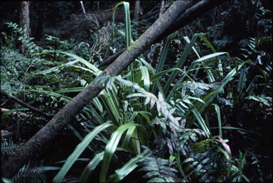 APII jpeg image of Astelia australiana  © contact APII