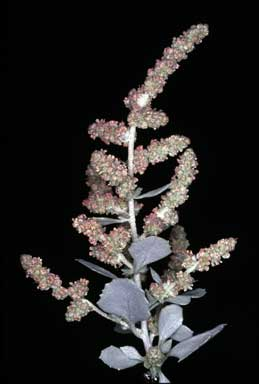 APII jpeg image of Atriplex nummularia  © contact APII