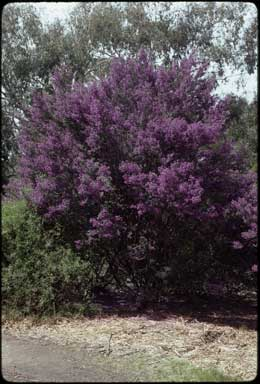 APII jpeg image of Prostanthera latifolia  © contact APII